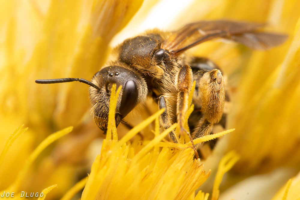 A large female furrow bee with tawny colored hair on the abundant yellow blooms of rubber rabbitbrush