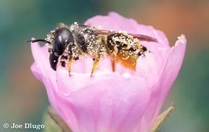 Megachile pugnata on Malva sylvestris | USA, Washington, Tenino | 2018-07-22