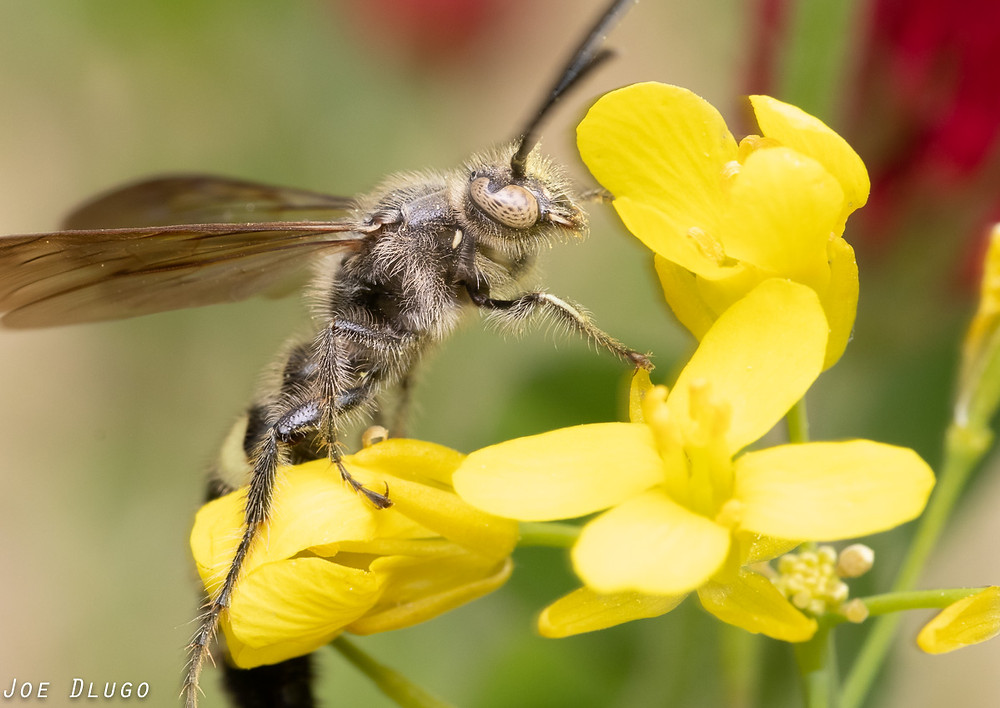Scoliid wasp with beautiful eyes visiting the yellow blooms of field mustard