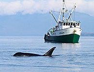 An orca rises slightly from the surface of the water with a green a white boat in the background