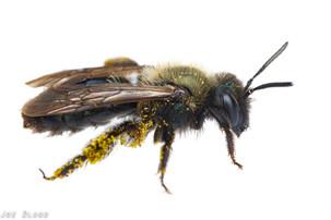 Andrena sp. | USA, Washington, Rochester (Glacial Heritage Preserve) | 2017-06-03