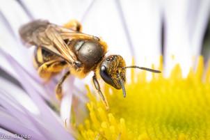 "Lasioglossum sp. on Erigeron glaucus ""seaside daisy"" | USA, Washington, Tenino | 2019-10-06"