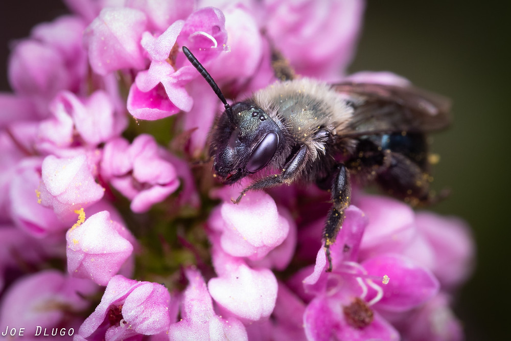 An iridescent green mining bee of the genus Andrena on the pink flower cluster of Plectritis congesta, sea blush.