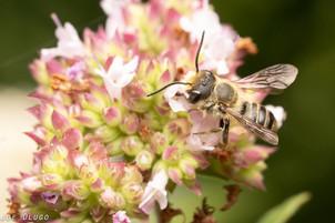 Megachile sp. on Origanum vulgare | USA, Washington, Brush Prairie (NatureScape Wildlife Botanical Gardens) | 2019-07-22
