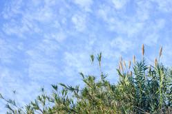 Arundo donax, Giant Cane, Canavieira.jpg