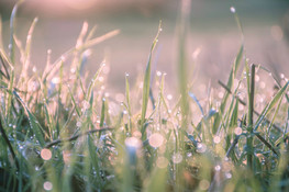 Sunrise and droplets of morning dew on g