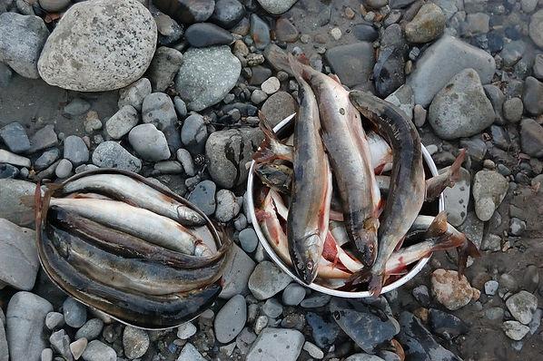 Мальма рыба