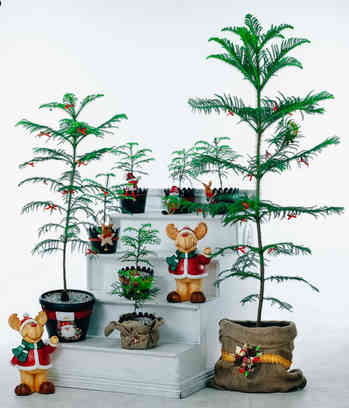 Fresh Curated Pine Tree