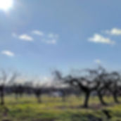 So much promise in an orchard on the first day of Spring...jpg