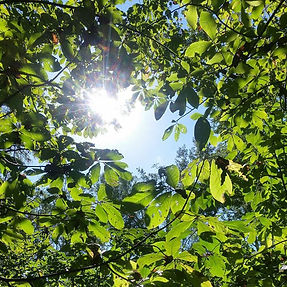 Glorious day for pawpaw pickin! #foraging #pawpaws #maryland #efn