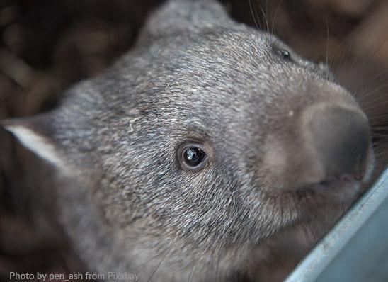 wombat1.jpg