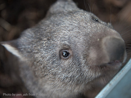 2 'buttons' to press when feeding a baby wombat (and it works!)