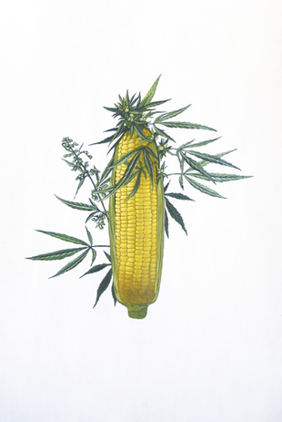 Nelson Barrera, Dos Hermanas Cannabis Sativa - Zea Mays, 2017, Acrilico sobre cartulina, 6