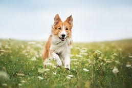 Red Border Collie Dog Running In A Meado