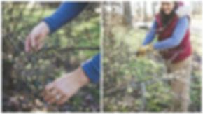 Field Cutting Flowerin Quince