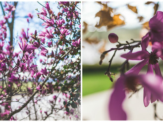 March Flower of the Month: Magnolia liliiflora with Inspiration from Acer sucrose