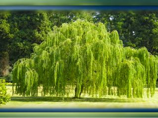 How Cherokee Make Aspirin from a Willow Tree