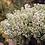 Thumbnail: Lilac