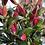 Thumbnail: Noble Star Lily