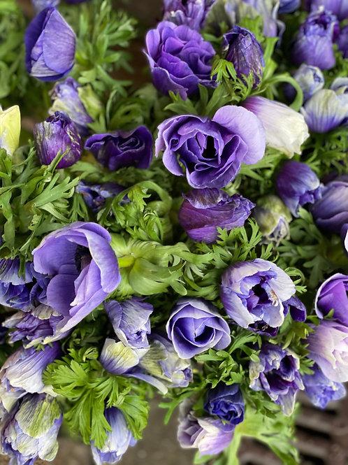 Purple Italian Anemones