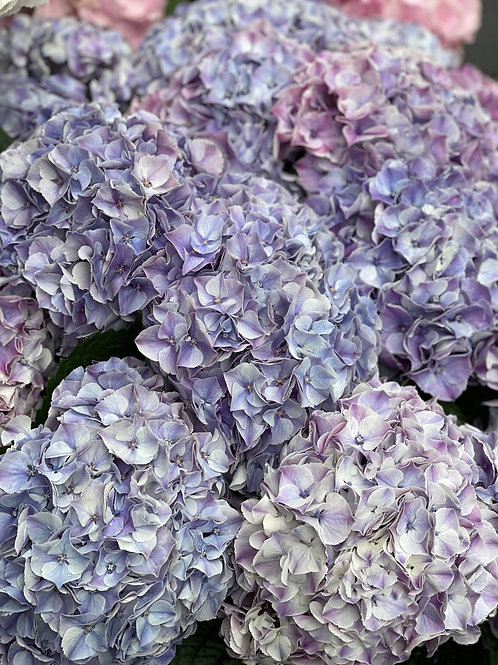 Pale Lilac Hydrangeas
