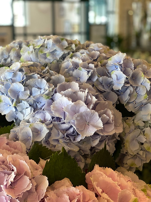 Light Blue Hydrangeas