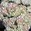 Thumbnail: Peach Hydrangeas