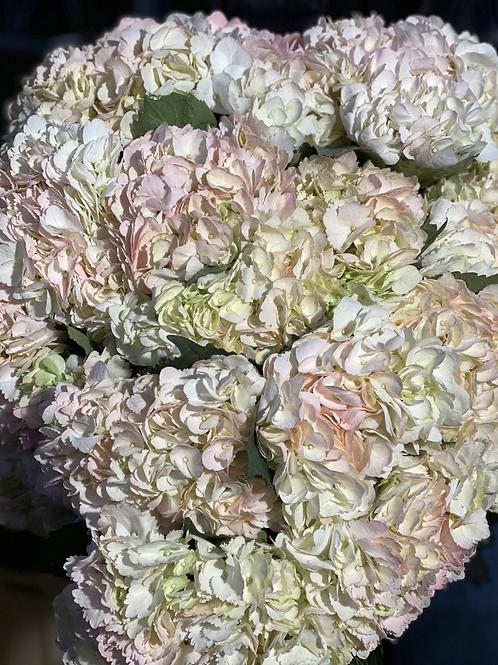 Peach Hydrangeas