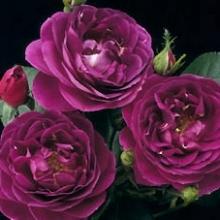 Purple Garden Rose