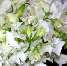 White Sweet Peas