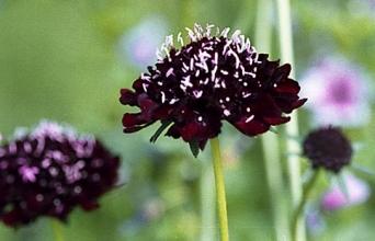 Burgundy Scabiosa