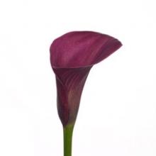 Purple Mini Calla Lily