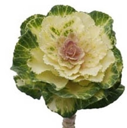 Cabbage Rosettes