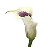 White Purple Mini Calla (Picasso)