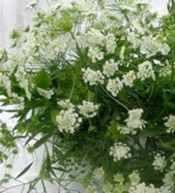 Green Queen Anne's Lace