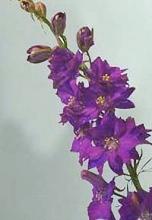 Purple Larkspur