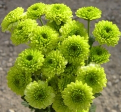 Green Button Mums