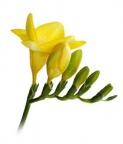 Yellow Fresia