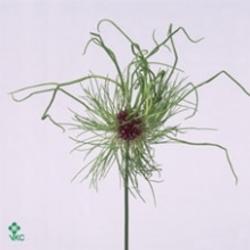 Hair Allium