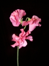 Red Sweet Pea