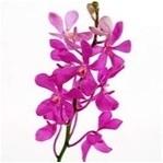 Hot Pink Mokara Orchid