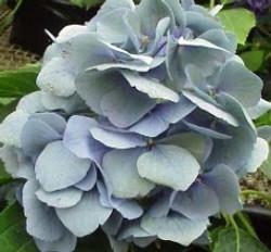 Blue (Antique) Hydrangea