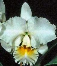 White Cattleya Orchid