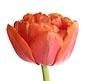 Orange Double Tulip