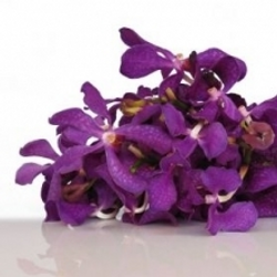 Purple Mokara Orchid