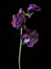 Purple Sweet Peas
