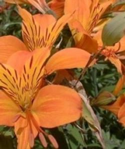 Orange Alstroemeria