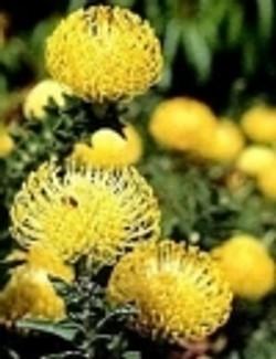 Yellow Protea