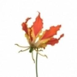 Orange Gloriosa Lily