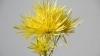Yellow Spider Mum